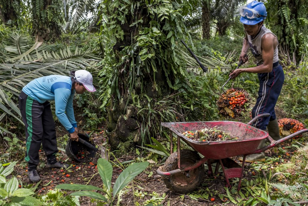 SI, a kernet worker without pay help her harvester husband collecting loose fruits in PT. London Sumatra Plantation (PT. Lonsum), Deli Serdang. North Sumatra